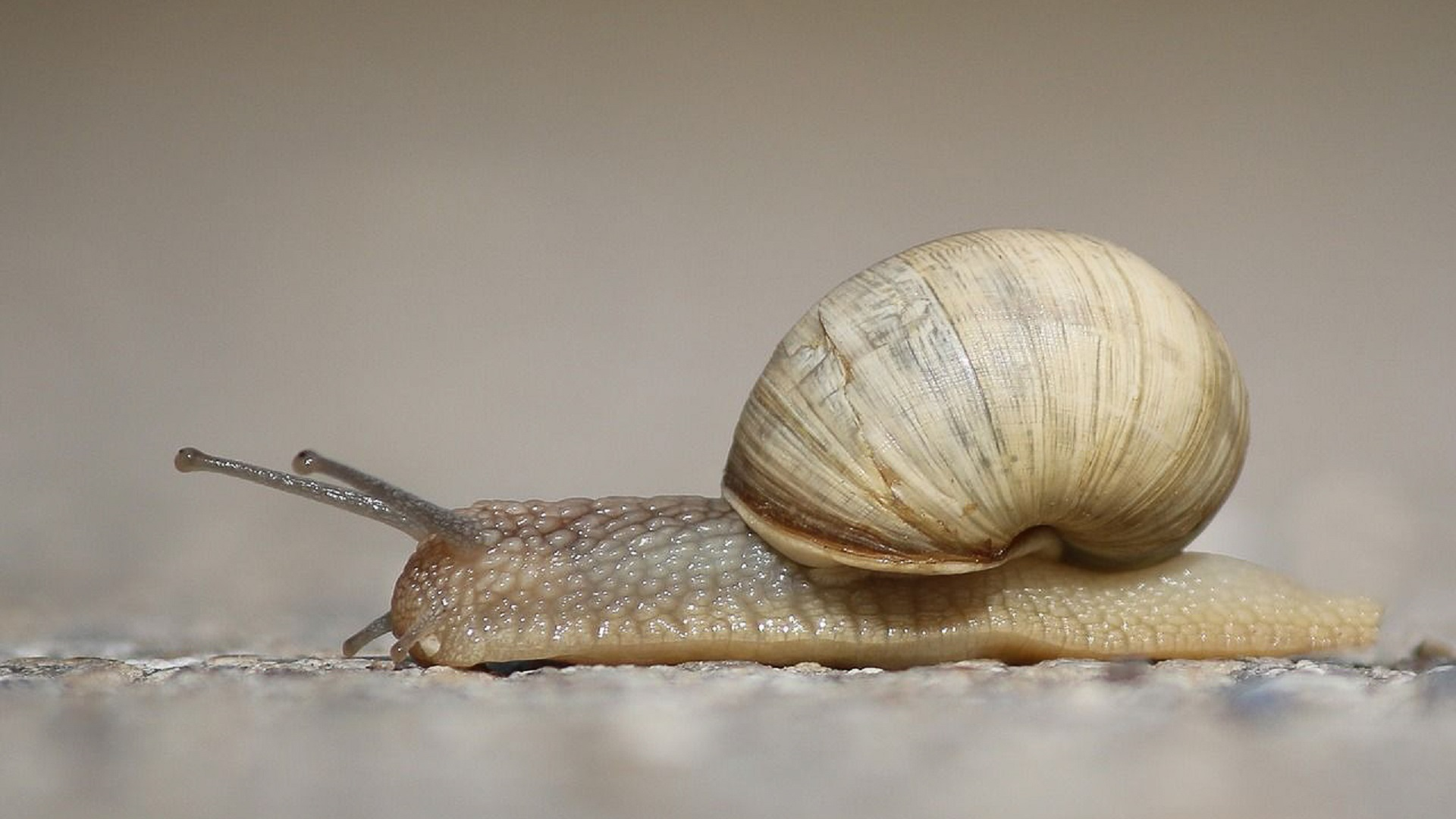 Most of the snails are exported to France